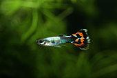 Guppy (Poecilia reticulata) male in aquarium