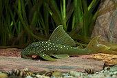 Lemon spotted Pleco (Baryancistrus demantoides) in aquarium