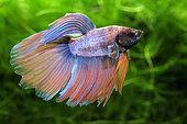 Siamese fighting fish (Betta splendens) male, fins extended, in aquarium