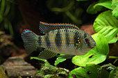 "African Butterfly Cichlid (Anomalochromis thomasi) male ""Nigeria"" in aquarium"
