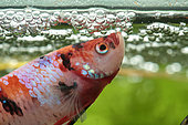 Siamese fighting fish (Betta splendens) Fighting fish guarding its fry in its bubble nest