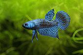 """"""" Alien blue""""Fighting Fish (Betta mahachaiensis) in aquarium"""