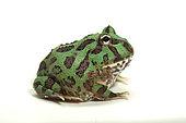 Ornate Horned Frog (Ceratophrys ornata), pepermint phase on white background