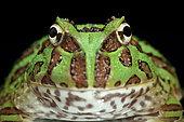 Ornate Horned Frog (Ceratophrys ornata), pepermint phase on black background