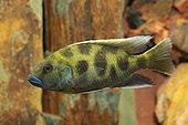 Venustus cichlid (Nimbochromis venustus) male in aquarium