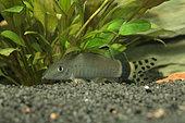 Yellow tail polka dot loach (Yasuhikotakia splendida) in aquarium