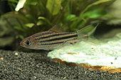 Lined barb (Striuntius lineatus) in aquarium