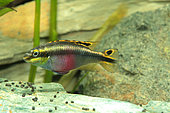 Kribensis (Pelvicachromis pulcher) coloured female in aquarium