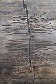 European Spruce Bark Beetle (Ips typographus) gallery on a dead tree trunk, France