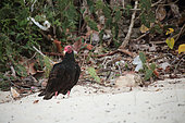 Turkey vulture (Cathartes aura) on the sand by the sea, Cuba