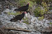 Turkey vulture (Cathartes aura) on rocks by the sea, Cuba
