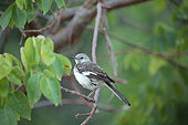 Northern Mockingbird (Mimus polyglottos) on a mangrove tree, Cuba