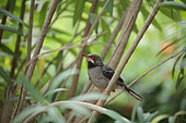 Red-legged thrush (Turdus plumbeus) on a branch, Cuba