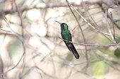 Cuban Emerald (Chlorostilbon ricordii) on a branch, Cuba