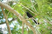 Smooth-billed Ani (Crotophaga ani) in a tree, Cuba