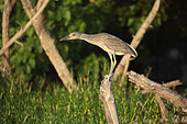 Yellow-crowned Night Heron (Nyctanassa violacea) juvenile on a dead branch, Cuba