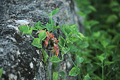 Blackback land crab (Gecarcinus lateralis) in a garden, Cuba