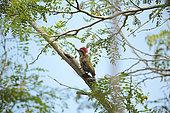 Cuban Green Woodpecker (Xiphidiopicus percussus) in a tree, Cuba