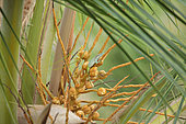 Allison's anole (Anolis allisoni) on palm tree, Cuba