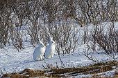 Arctic hare (Lepus arcticus), in the snow, Vadso, Varanger Fjord, Norway, Scandinavia, Europe