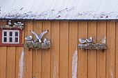 Kittiwake (Rissa tridactyla), nests in the harbor on houses, Vardø or Vardo, Varanger Fjord, Norway, Scandinavia, Europe
