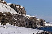 Ekkeroy, zone protégée avec d'importantes colonies d'oiseaux de mer notamment une grosse colonie de reproduction de mouettes tridactyles ou Kittiwake à pattes noires (Rissa tridactyla) sur une falaise, Vadso, Varanger Fjord, Norvège, Scandinavie