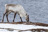 Reindeer (Rangifer tarandus), called Caribou in Canada, searches for food on plowed rocks, Vadso, Varanger Fjord, Norway, Scandinavia, Europe