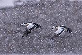 Steller's eider (Polysticta stelleri), males in flight, Harbour of Båtsfjord, Båtsfjord, Norway, Scandinavia, Europe