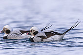 Long-tailed duck (Clangula hyemalis), commonly known in North America as Oldsquaw, males, Harbour of Båtsfjord, Båtsfjord, Norway, Scandinavia, Europe