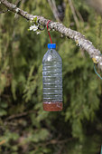 plastic bottle filled with a mixture (wine, beer, blackcurrant syrup) to attract and trap Asian hornets (invasive species) in a garden, Ille et Vilaine, Brittany, France