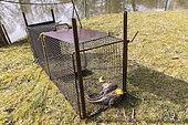 Norway rats captured in the trap, at the edge of a pond, nutria trap digging the dikes, Ille-et-Vilaine, Brittany, France