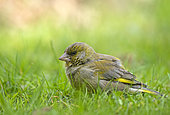 European Verdier (Chloris chloris, formerly Carduelis chloris), on the ground in a lawn, reached of a viral or bacterial disease, Ille et Villaine, Brittany, France