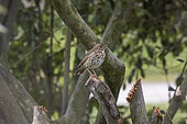 Song Thrush (Turdus philomelos) perched on a cut branch in a garden, Ille et Vilaine, Brittany, France