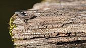 Common wall lizard (Podarcis muralis) on a wooden bridge, Azay-sur-Indre, Indre et Loire, Centre Val de Loire Region, France