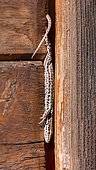 Common wall lizard (Podarcis muralis) in the doorway of a wooden garden shed, Joué-lès-Tours, Indre et Loire, Centre Val de Loire Region, France