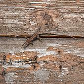 Common wall lizard (Podarcis muralis) on an old wooden hut, Joué-lès-Tours, Indre et Loire, Centre Val de Loire Region, France
