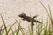 Common wall lizard (Podarcis muralis) male climbing out of the grass onto a house wall, Joué-lès-Tours, Indre et Loire, Centre Val de Loire Region, France