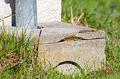 Common wall lizard (Podarcis muralis) male with regenerating tail sunning itself on a concrete rainwater collection manhole, Joué-lès-Tours, Indre-et-Loire, Centre Val de Loire Region, France