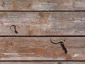 Common wall lizard (Podarcis muralis) adult and young sunbathing on an old wooden hut, Joué-lès-Tours, Indre et Loire, Centre Val de Loire Region, France