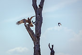 African Harrier-Hawk (Polyboroides typus) juvenile in flight chasing starling in Kruger National park, South Africa