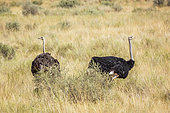 African Ostrich (Struthio camelus) couple in dry savannah in Kgalagadi transfrontier park, South Africa