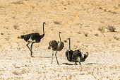 Three African Ostriches (Struthio camelus) in the sand in Kgalagadi transfrontier park, South Africa