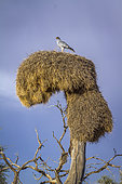 Pale Chanting-Goshawk (Melierax canorus) standing on social weaver nest in Kgalagadi transfrontier park, South Africa