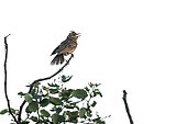 Rufous-naped Lark (Mirafra africana) singing perched in branch in Kruger National park, South Africa