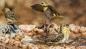Three Village weaver (Ploceus cucullatus) bathing in waterhole in Kruger National park, South Africa