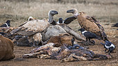 Cape vulture, White backed Vulture and african pied crow scavenging a carcass in Vulpro rehabilitation center, South Africa