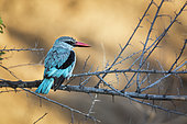 Woodland kingfisher (Halcyon senegalensis) standing on a branch in morning light in Kruger National park, South Africa