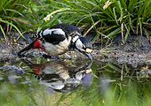 Great spotted woodpecker (Dendrocopos major) drinking water, England