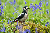 Great spotted woodpecker (Dendrocopos major) perched on moss amongst bluebells, england