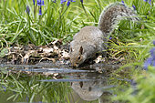 Grey squirrel (Sciurus carolinensis) drinking water, England